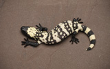 Reticulate Gila Monster FRL3_16_3_4