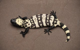 Reticulate Gila Monster FRL3_16_4_4