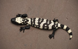 Reticulate Gila Monster FR_16_2_3