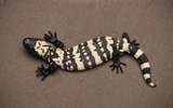Reticulate Gila Monster N7_3_4