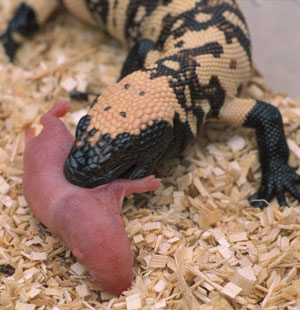 Neonate Gila monster eating a pinky rat.
