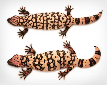 Difference in body form between male and female Gila monsters
