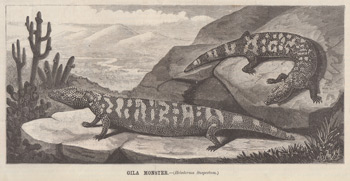 Gila monster woodcut, 1879