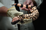 Gila monster held with gloves