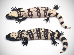 Compare hatchling Gila monsters - banded and reticulate