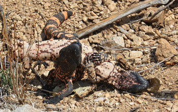 Gila monster - male combat