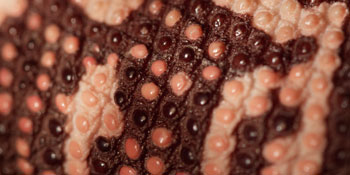 Gila monster skin